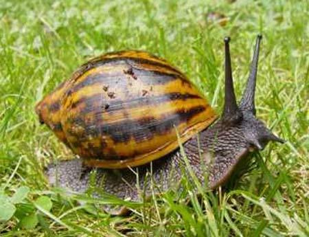 giant-ghana-land-snail